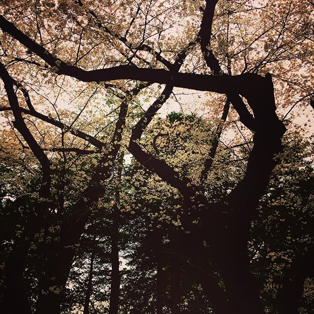 代々木公園では恒例行事の真っ最中ですね〜、今年初花見して来ました!! 風が強かったのので、見納めかもしれませんが、外は気持ちいいですよー皆さんも是非。 - from Instagram